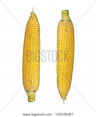 Corn on the cob kernels isolated Clipping Path