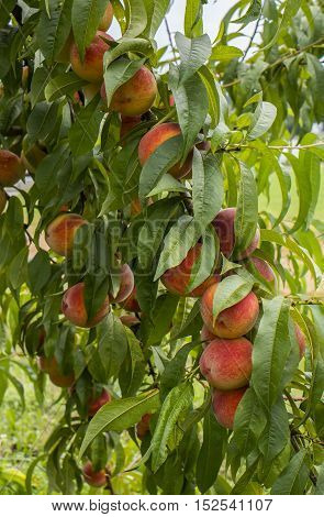 Peaches branches are with full of fruit.