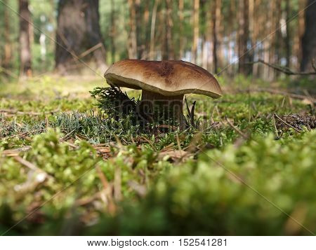 Picture of the penny bun in forest