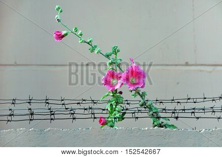 Pink blooming flower of mallow growing through the barbed wire. Close up.