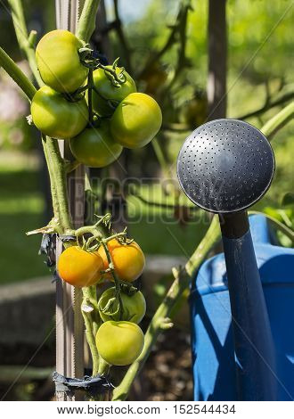 Tomatoes with plastic watering can in the backyard garden.