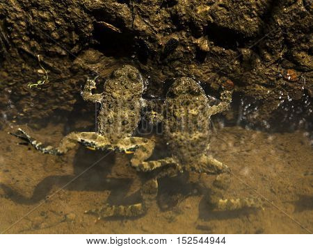 Two frogs in water relaxing in a small pond.