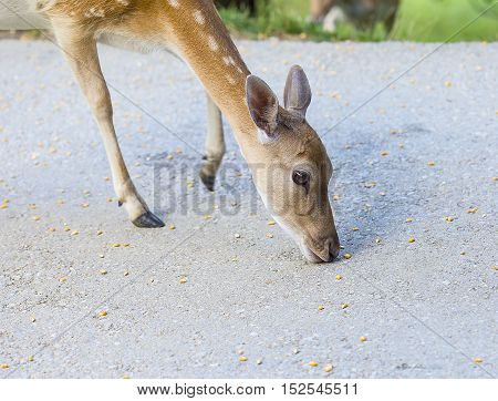 Young deer hind eating corn on the road.