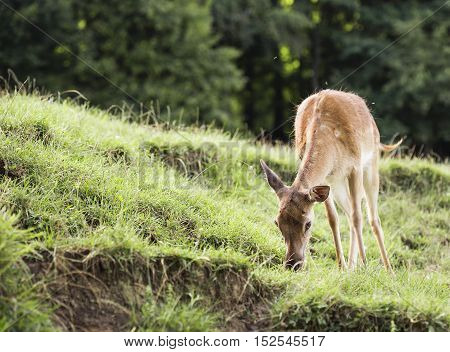 Young deer hind eating grass on a slope.