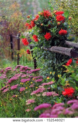 aster flowers for design garden landscape autumn