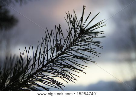 Blurred background with pine branch at sunset.