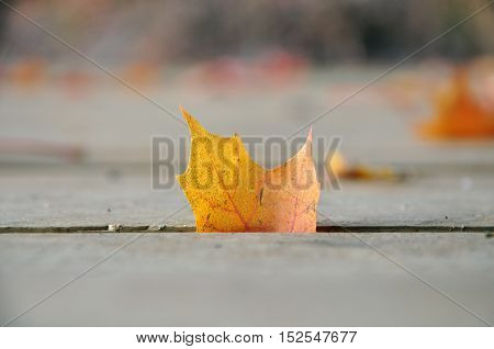 Yellow maple leaf sticking out of wooden surface on blurred background.