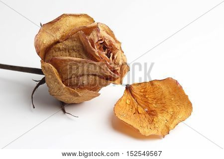 dried rose petal in a drop of water on white background