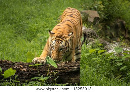 Royal Bengal Tiger at Sunderbans National Park