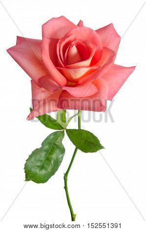 Beautiful Fresh Pink Rose Isolated On White Background
