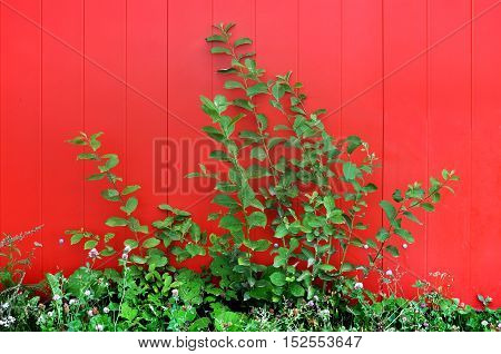 Urban background. Green bush against the bright red wall.
