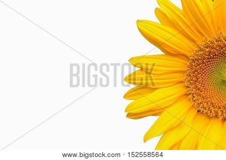 beautiful sunflower isolated on white background, yellow sunflower