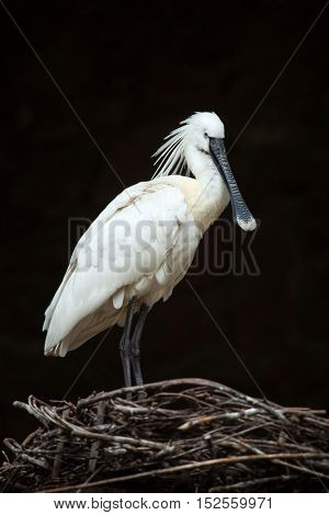 Eurasian spoonbill (Platalea leucorodia), also known as the common spoonbill. Wildlife animal.