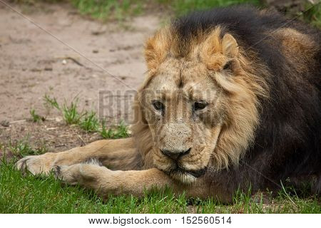 Asiatic lion (Panthera leo persica), also known as the Indian lion. Wildlife animal.