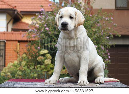 Little Labrador Puppy On A Grey Background