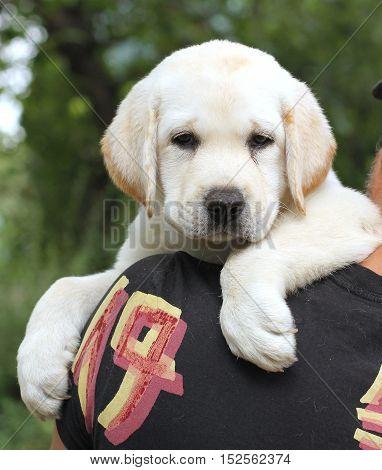 Little Cute Labrador Puppy On A Shoulder