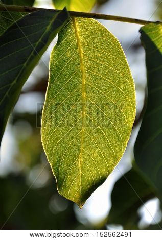 The leaves of the walnut tree. The structure of the veins in the light of the sun close up.