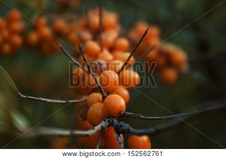 Green branch of orange sea buckthorn berries