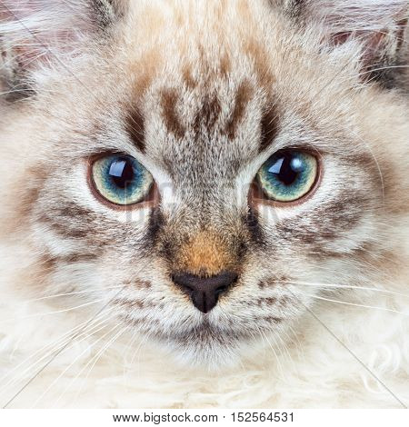 Male lynx point Siberian colorpoint Neva Masquerade kitten closeup