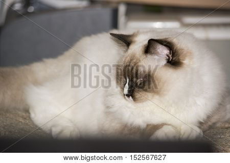 Ragdoll Cat on the scratcher in the room