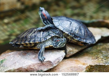 Trachemys scripta elegans. Decorative red-eared turtles are sitting on the rocks in an artificial reservoir. Shallow depth of field. Selective focus.