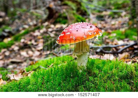 Red fly agaric mushroom on moss in forest