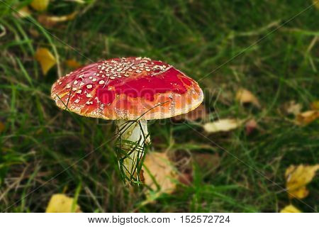 Amanita muscaria on meadow autumn grass forest