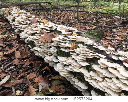Shelf Mushrooms take over a fallen log in the forest