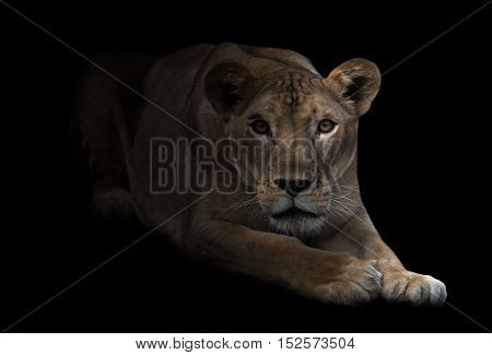 Female Lion In The Dark