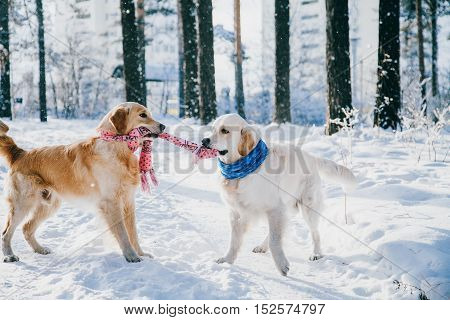 portrait of a dog outdoors in winter. two young golden retriever playing in the snow in the park. Tug toys.