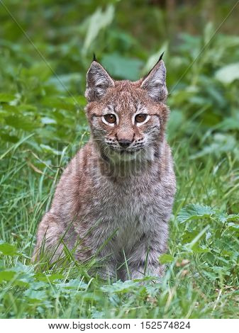 Closeup image of the Eurasian lynx with vegetaion in the background