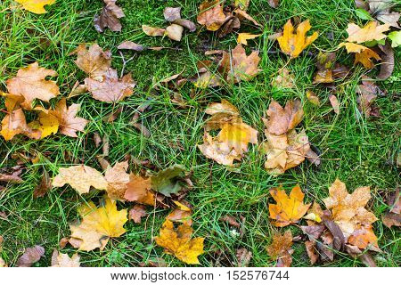 Yellow fallen leaves on the wet green grass, autumn ground texture.