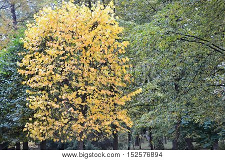 tree in early autumn, early autumn, contrast