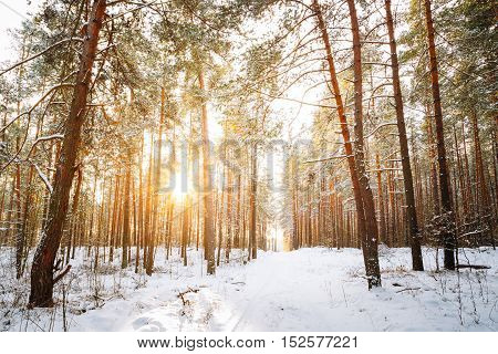 Amazing Sunset Sunrise And Sun Sunshine In Sunny Winter Snowy Coniferous Forest. Snowy Path, Road, Way Or Pathway In Winter Forest