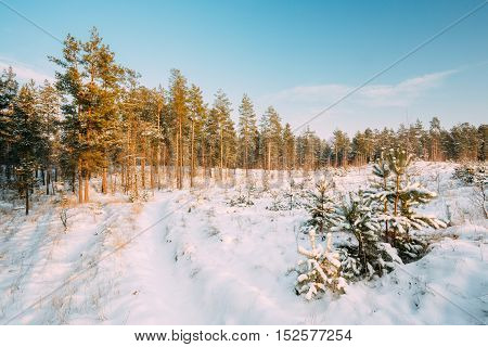 Beautiful Sunset Sunrise Time. Path, Lane, Way In Sunny Winter Snowy Coniferous Forest