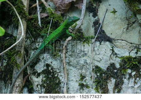 The green lizard sitting on a rock