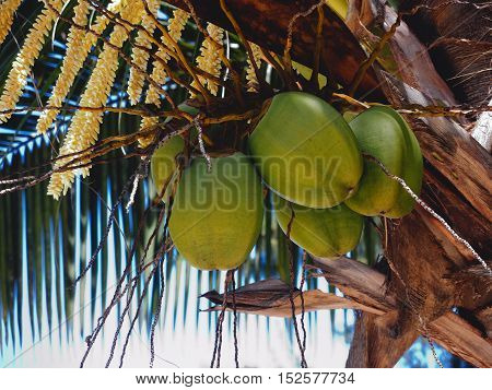 Detail of big green coconuts hanging on palm tree. Island Mauritius.