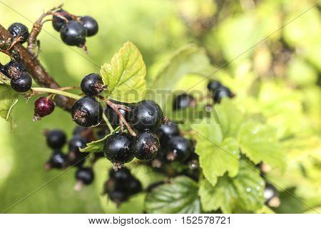 Blackcurrants in domestic green garden. Blackcurrants growing in the garden. Berry branch.