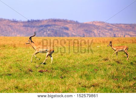 Two Impala running through the lush green plains in Bumi National Park - Zimbabwe