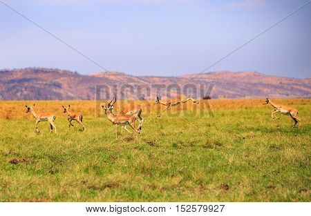 Herd of Impala jumping in mid air in Bumi National Park