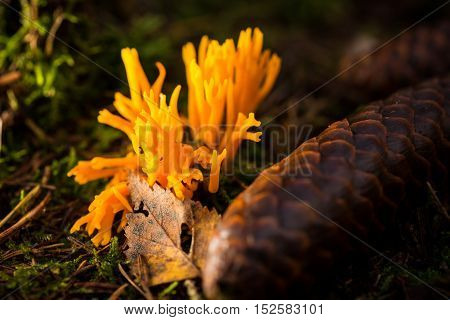 Single Ramaria Mushroom In Moss Next To Spruce Cone