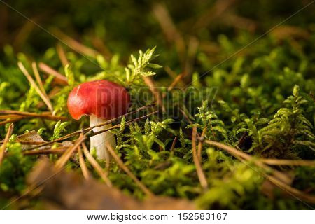 Single Small Red Mushoom In Green Moss