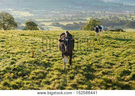 Cows on a farmland overlooking Axe Valley in Devon