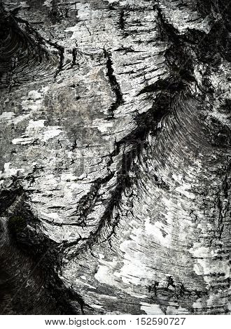abstract background or texture old birch bark detail
