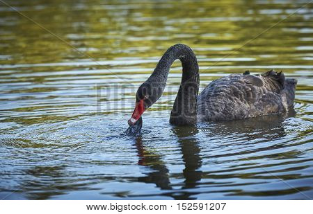 Graceful black swan (Cygnus atratus) male trying to eat plastic garbage floating on a lake surface. Birds endangered by human negligence. Birds lives at risk by plastic waste. Environment issue.