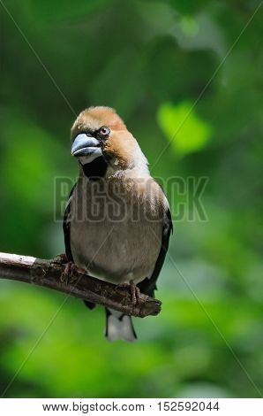 Perching Hawfinch (Coccothraustes coccothraustes) at the tree. Moscow region Russia
