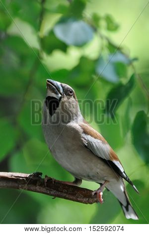 Perching female Hawfinch (Coccothraustes coccothraustes) at the tree. Moscow region Russia