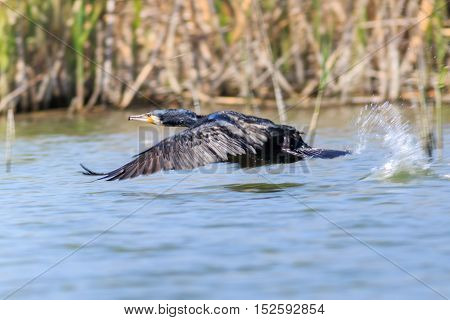 cormorant in flight. Location: Danube Delta Romania
