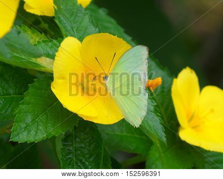 Light green color butterfly on a vivid yellow blooming flower