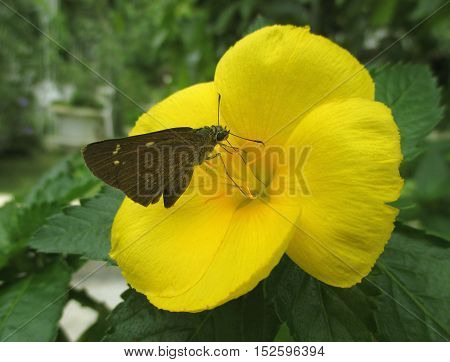 Dark brown color butterfly on a bright yellow blooming flower